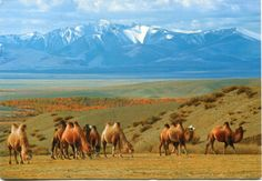 Bactrian camels in the Chuya Steppe