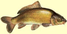 carpe commune poisson