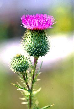 Unusual Flowers, Fresh Flowers, Wild Flowers, Beautiful Flowers, Thistle Flower, My Flower, Flower Art, Scottish Flowers, Scottish Thistle