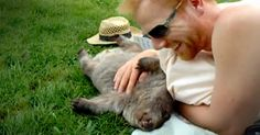 A Baby Wombat Wanders Over To Cuddle And Get Tummy Rubs From A Stranger ♥