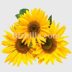 Buy #SunflowerSeeds from #Ukraine via Bizbilla.com  order now <> http://products.bizbilla.com/Sunflower-seeds_detail226577.html #Bizbilla #b2b #Agriculture #AgroProduct #Seed
