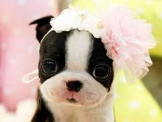this pup posing like a pro: How can you not love this face. Boston Terrier love all the way! Makes me want a dozen!How can you not love this face. Boston Terrier love all the way! Makes me want a dozen! Boston Terrier Love, Boston Terriers, Terrier Puppies, Cute Puppies, Cute Dogs, Dogs And Puppies, Cute Babies, Doggies, Bulldog Puppies