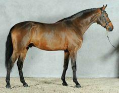 Selle Français stallion, Radjah D'Ecole.