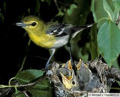Yellow-throated Vireo (Order: Passeriformes; Family: Vireonidae)