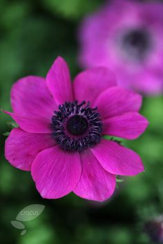 Buy anemone bulbs Anemone coronaria 'Sylphide (Mona Lisa Series)': Delivery by Crocus