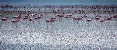 #Tanzania#Lake#Natron#Flamingo
