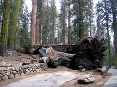 The fallen Wawona Tunnel Tree looking the worse for wear | Photo: Phil Virgo