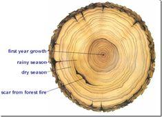 tree rings and testimonies - fhe Tree Ring Tattoo, Ring Tattoos, Thigh Tattoos, Black Tattoos, Tatoos, Tree Rings, Object Lessons, Fhe Lessons, Biology Lessons