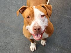 GONE - BE AT PEACE  05/30/14  Manhattan Center    My name is QUEEN. My Animal ID # is A0999308.  I am a female brown and white pit bull mix. 3 YEARS old. STRAY on 05/09/2014  As sweet as she is with people, this fun-loving lady has not been at all well-socialized with other dogs.  Queenn is strong for her compact size but not overbearing.  Yearns for love just like any other pup and when it comes to loyalty and affection for humans, her heart is as big as a whale.