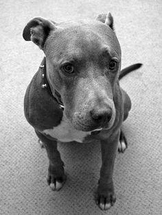 Black-And-White-American-Pitbull-Terrier-Wallpaper-1280x1704.jpg (1280×1704)