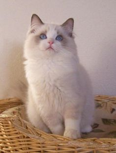 I seriously love ragdoll kittens. best images ideas about ragdoll kitten - most affectionate cat breeds - Tap the link now to see all of our cool cat collections! Kittens Cutest, Cats And Kittens, Ragdoll Cats, Cats Bus, I Love Cats, Cool Cats, Gatos Cool, Kitten Photos, Super Cat