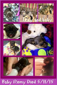 """Lil Remy(formerly known as Wally), 9 days old, sadly passed last night. He was born to Momma Izzy Belle on Friday May 1, 2015. Remy had a tough start, being born in the NY ACC with a cleft palette. He and his mom were rescued by SNARR,on Friday, after a desperate plea from the shelter. Immediately, they were both placed in a special foster home. Foster mom is specially experienced with """"momma's & pups"""" and also medically equipped and knowledgeable. Remy was bottle fed special formula every…"""