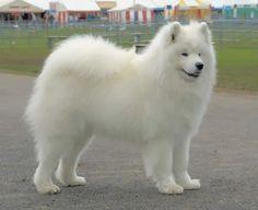 large dog breeds - Google Search