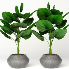 Licuala orbicularis Model available on Turbo Squid, the world's leading provider of digital models for visualization, films, television, and games. Large Indoor Plants, Potted Plants, Garden Plants, Bloom Where Youre Planted, Inside Plants, Ornamental Plants, Interior Garden, 3d Max, Yard Landscaping