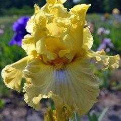 ~TB Iris 'Frilled to Bits'
