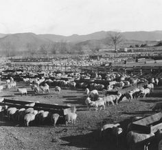 Sheep corrals in Mason Valley :: Sheep Industry of Northern Nevada