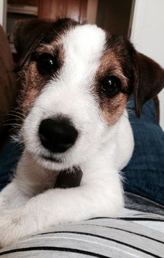 Jack Russell Terrier Dog - the cutest dog EVER! * all about pet dogs tips at the image link.