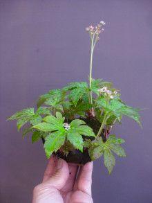盆栽:タンチョウソウ  春嘉の盆栽工房