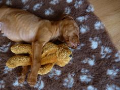 #Vizsla. My little Molly girl was once this small. Still this adorable, though.
