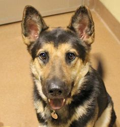ILLINOIS ~ meet Dillinger, an #adoptable Shepherd, 1 year, Male  in Chicago- Find me on pawschicago.org! 12.12.12