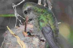 A mother feeding hummingbird nestlings.