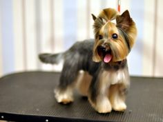 Yorkie haircuts for males and females + pictures) - Yorkie. Yorkshire Terrier Haircut, Yorkshire Terriers, Yorkie Cuts, Yorkie Hairstyles, Yorky, Dog Training Techniques, Dog Games, Yorkie Puppy, Dog Show