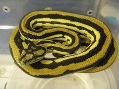 Striped Citrus Tiger Carpet Python