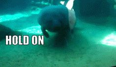 They're curious. | Manatees: Living Proof That Mermaids Are Real And Beautiful