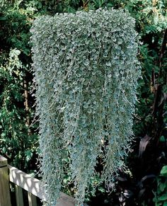 20 Dichondra Repens Silver Falls Emerald Falls Ground Cover Seeds in hanging baskets very creative beautiful potted plants Leafy Plants, Foliage Plants, Garden Plants, Tomato Plants, Garden Seeds, Potted Plants, Hanging Flower Baskets, Hanging Plants, Silver Falls Plant