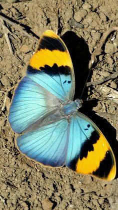 Butterfly Wall Art, Butterfly Painting, Butterfly Wallpaper, Butterfly Flowers, Beautiful Bugs, Beautiful Butterflies, Amazing Nature, Animals Beautiful, Cute Animals