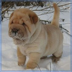 This Sharpei puppy actually looks kind of strange...