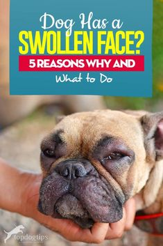 If Your Dog Has Swollen Face - 5 Reasons Why and What to Do Tumors On Dogs, Dog Health Tips, Dog Ages, Dental Problems, Dry Dog Food, Health Articles, Dogs Of The World