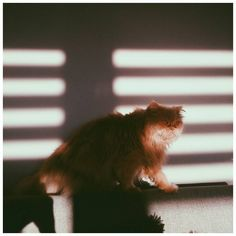 zły lew #vscocam #vsco #cat #red #shadow