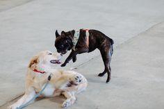 Dolly playing with a new friend in Austin. New Friends, French Bulldog, Dogs, Animals, Animales, Animaux, French Bulldog Shedding, Pet Dogs, Bulldog Frances