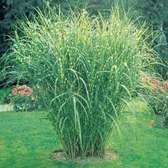 Zebra Ornamental Grass Impressive and exotic looking, growing 4-7 ft. tall and spreading to 3-5 ft. Emerald-green foliage will develop golden stripes midsummer, and silvery plumes appear in autumn and last through the winter. Does best in full sun, as an accent or grouping. Hardy and will tolerate drought and a wide range of soil conditions. Potted plants. Zones 4-9.