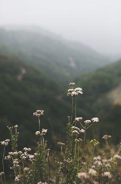 California Mountain Photography, Mist, San Bernadino, Native Wildflower