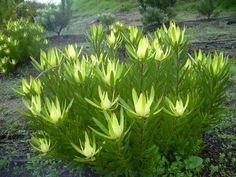 Leucadendron 'Safari Gold Strike'Leucadendron salignum  A vigorous and fast growing, erect bushy shrub with bright yellow bracts on long stems during Winter and Spring. Great plant for winter colour. Suitable for gardens, rockeries, landscaping and container planting. Excellent flower for cutting and drying, with a long vase life. Hardy, drought tolerant plant which prefers a full sun position.