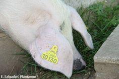 Porco celta www.plantamus.es