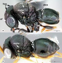 29 Trissolcus strabus, female 30 Trissolcus.basalis, female