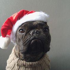 Pierre Brando, French Bulldog in a Santa Hat❤️