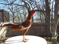 KING GHAZI: Brazilian Asil Chicken Roost, Pigeon Pictures, Chicken Breeds, Picture Description, Cat Breeds, Rooster, Dog Cat, Cats, Animals