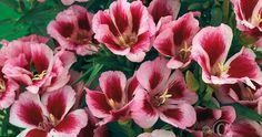 isosilkkikukka - Clarkia amoena (kylvö) Rembrandt, Purple, Pink, Orange, Rose, Garden, Flowers, Plants, Color