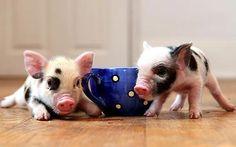Tea Cup Pigs!