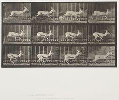 Eadweard Muybridge (American, b. England, 1830-1904)  Plate 698 from Animal Locomotion, 1887  Antelope galloping.   Collotype on paper, 15-7/8 x 19-15/16 in.   Gift of Mrs. Jill Tane.  1995.16.24