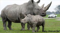 Cute little sweet baby rhino    #rhino  #babyrhino  #cuterhino  #littlerhino  #sweetrhino  #funnyrhino  #cutebabyrhino  #sweetbabyrhino  #babyanimals  #cuteanimals  #littleanimals  #sweetanimals #yavruhayvanlar  #bebekhayvanlar