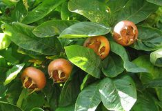 Details about showy medlar, Mespilus germanica, tree seeds (edible, autumn color, hardy) Low Calorie Smoothies, Fruit Smoothies, Backyard Vegetable Gardens, Vegetable Garden Design, Gardening Zones, Tree Seeds, Eating Raw, Small Trees, Fruit Trees