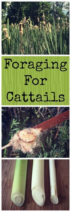 Foraging for Cattails~ The plant of many uses! http://www.growforagecookferment.com