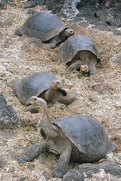 Giant tortoise (Geochelone elephantophus) - Galapagos.....can weigh up to 500 lbs.
