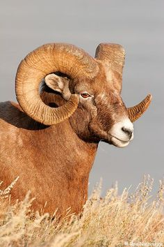 Bighorn Sheep Pictures