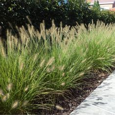 Dwarf Hameln fountain grass – Growing Lavender Gardening - Growing Plants at Home Miscanthus Sinensis Gracillimus, Grass For Sale, Fountain Grass, Vegetable Garden Design, Garden Types, Ornamental Grasses, Garden Inspiration, Garden Landscaping, Vegetable Garden